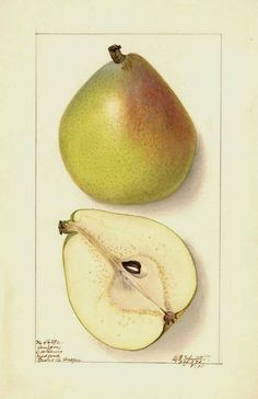 Beautiful old vintage Botanical Fruit painting of a cut Anjou variety of Pear fruit painted in Would be perfect in a grouping with my other antique food paintings, perhaps to hang on your dining room walls. Fruit Illustration, Botanical Illustration, Watercolor Fruit, Watercolor Paintings, Watercolor Flowers, Watercolors, Pear Drawing, Pear Fruit, Fruits Images