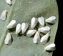 7 Garden White Fly Ideas White Flies Garden Pests Garden Bugs