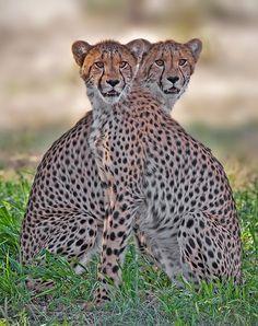 Juxtapose by Hendri Venter ... Young Cheetah brothers, Kgalagadi Transfrontier Park, SA
