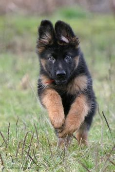 This Baby German shepherd is among the Best dog Breeds of all time, click the pic for full list :)