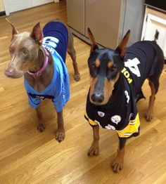 Dobermans in steeler Titan shirts