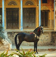 Marwari stallion Naagraj. photo: Ekaterina Druz.