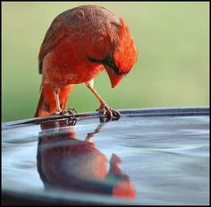 Cardinal -- Me and my reflection -- Like what I see. Pretty Birds, Love Birds, Beautiful Birds, Hello Beautiful, State Birds, Cardinal Birds, Bird Pictures, Cardinal Pictures, Mundo Animal