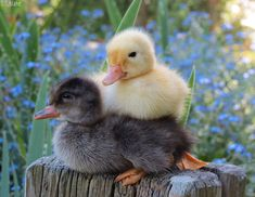 Pekin and Cayuga ducklings by kiwipics Cute Ducklings, Duck And Ducklings, Pet Ducks, Baby Ducks, Cute Chickens, Baby Chickens, Duck Pictures, Cute Animal Pictures, Fluffy Animals