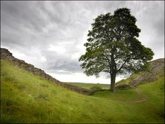 """""""This famous tree along Hadrian's Wall formed part of the film set for Robin Hood"""