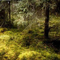 Metsä - metsä metsät kuusi mänty puu puut kivi sammal näre oksa alaoksa mätäs kuiva naava metsikkö reuna metsän oksat kuusimetsä mänty