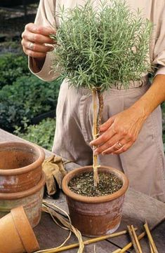 How to make a Rosemary Topiary from a Rooted Cutting