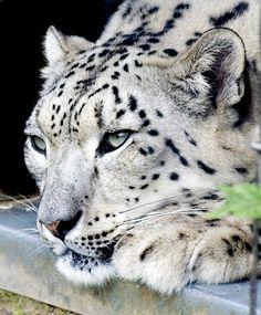 Female Snow Leopard | by Steve Wilson - over 8 million views Thanks !!