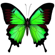 papillon: Vector illustration de papillon beau vert isolé sur fond blanc Illustration
