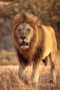 The Dude - A magnificent male lion from Sabi Sands Game Reserve.