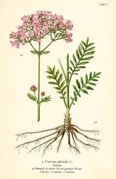 BALDRIAN Botanik Farbdruck Antiker Druck Antique Botanical Print