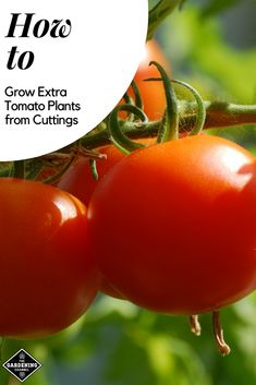 Learn how to grow more tomatoes in one gardening season. Here's how to get two growth cycles of tomato plants from cuttings. #gardeningchannel #growingtomatoes #vegetablegardening