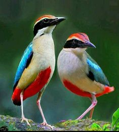 """Fairy pitta - It is also called """"little forest angel"""" in Taiwan and """"eight colored bird"""" in Japan, Taiwan, North Korea and South Korea. The fairy pitta breeds in East Asia and migrates south to winter in Southeast Asia. Rare Birds, Exotic Birds, Colorful Birds, Most Beautiful Birds, Pretty Birds, Beautiful Creatures, Animals Beautiful, Australian Birds, Kinds Of Birds"""