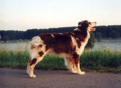 Red merle Aussie (Rascal,  Imagineer's As Good As It Gets VDH, BH, AD, FH, RH, OB-I, ASCA CDX) Aussie Dogs, Puppies Puppies, Australian Shepherds, Aussies, Border Collies, All Dogs, Doggies, Lab, Addiction