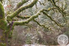 An overnight storm brought snow to the Corvallis, Oregon and left this old oak tree dressed in snow covering its beautiful green moss. Ecclesiastes 12, Nature Photography, Travel Photography, Old Oak Tree, Old Bricks, Art Nature, City Photo, Canvas Prints, Fine Art