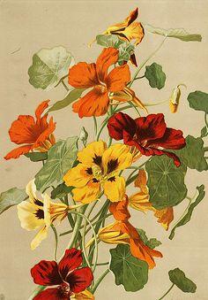 Ellen Fisher, Nasturtiums, Late 19th century                                                                                                                                                                                 Más