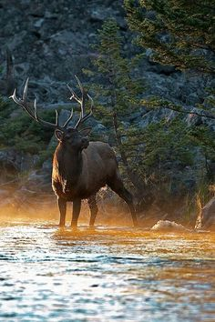 .Elk were reintroduced to Kentucky in 1997 as a restoration project by the Kentucky Department of Fish & Wildlife.  From 1997 - 2003 approximately 1513 elk were transported into Kentucky.  Reproduction has been very high, with approximately 90% of the adult cows producing calves.