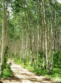 Summer Path Aspens Forest Trees Woods Colorado by SimplyLodge, $35.00