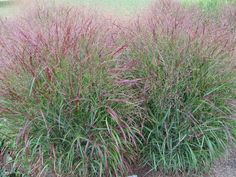 Switch grass is a type of bunch grass. Switch Grass grows eight feet tall. Switch Grass grows in moderately moist soil. Home Landscaping, Front Yard Landscaping, Water Garden, Garden Plants, Tall Ornamental Grasses, Grass For Sale, Landscape Design, Garden Design, Garden Bed Layout