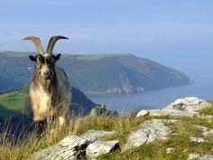 Goat, Lynton and Valley of the Rocks, Devon, UK