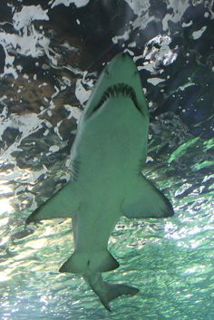 Grey Nurse Shark, Sydney Aquarium, Darling Harbour, Sydney