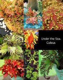 Under the Sea Coleus