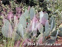 Photos and profile of the grass commonly called  Gulf muhlygrass,   mist grass,   hairawn muhly,   pink muhlygrass,  from the  Floridata Plant Encyclopedia.