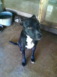 Earl is an adoptable American Bulldog Dog in Chipley, FL. Earl is a male Bulldog/Black Lab mix he is 1-2 years old and around 45 lbs Earl is just a sweet heart he is a little shy but loving he is very...