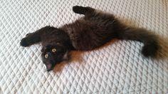 D Chapin's Cats ~ Bear Cub... Siamese Persian