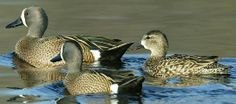 Blue Winged Teal trio Blue Winged Teal, Wings, Bird, Animals, Animales, Animaux, Birds, Animal, Feathers