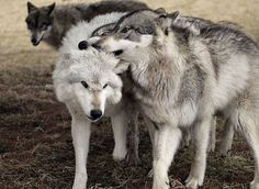 wolf, animal, and wild image Beautiful Wolves, Beautiful Dogs, Animals Beautiful, Cute Animals, Wild Animals, All About Wolves, Wolf Life, Wolf Photos, Wolf Pictures
