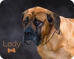 Somerset, PA - Mastiff Mix. Meet Lady, a dog for adoption. http://www.adoptapet.com/pet/13753948-somerset-pennsylvania-mastiff-mix