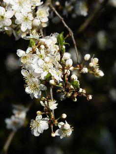 s tmavým pozadím Prunus, Dandelion, Nature, Flowers, Animals, Pictures, Fotografia, Naturaleza, Animales