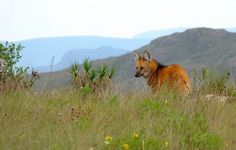 Lobo Guará -Parque Nacional da Serra da Canastra, Minas Gerais (by C.Ferrarezi)