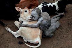 Et la tendresse B... ! / L'animal est une personne. / Omo valley. / Vallée de l'Omo. / Ethiopie. / Ethiopia. / Photo by Hans Silvester.                                                                                                                                                     Plus