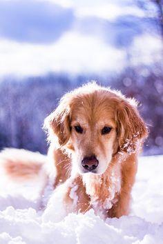 Dog In Snow, Snow Dogs, Golden Retriever Cocker Spaniel, Golden Retrievers, Cute Puppies, Cute Dogs, Dogs And Puppies, Cute Dog Pictures, Guy Pictures