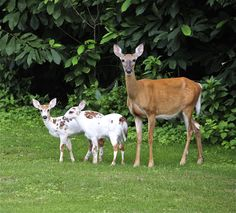White-tailed deer doe with piebald fawns.