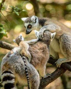 intern peeking in on a family moment . Lemur, Wildlife Photography, Monkey, Shots, Fox, Africa, In This Moment, Animals, Instagram