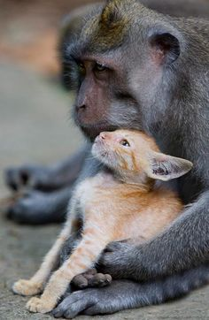 A young long tailed macaque monkey has been spotted in a forest protectively nuzzling and grooming a   ginger kitten and making sure no harm   came to it. The extraordinary sight was   captured by amateur photographer   Anne Young while on holiday at the   Monkey Forest Park, in the Ubud   region of Bali, Indonesia  love to be honored between all animals by us all!!!