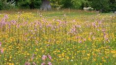 Meadow, RHS Rosemoor Garden, Great Torrington, Devon, England, UK.