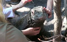 Acupuncture provides relief for Palm Beach Zoo Komodo dragon's pain