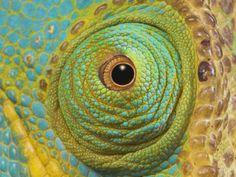 chameleon-close-up-of-eye-ranomafana-national-park-south-eastern-madagascar