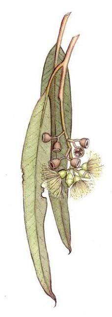 Original drawing of Eucalyptus crebra from botanical artist Janet Hauser. Botanical Drawings, Botanical Illustration, Botanical Art, Australian Wildflowers, Australian Native Flowers, Australian Animals, Watercolor Flowers, Watercolor Paintings, Painting Flowers