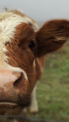 Adventure Awaits, Cow, Animals, Desk, Animales, Animaux, Cattle, Animal, Animais