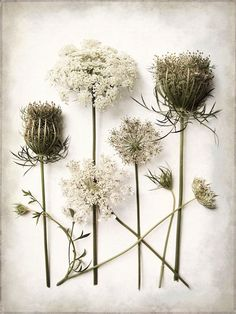 Queen Anne 's Lace