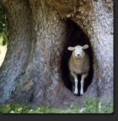 sheep in a tree... by eve