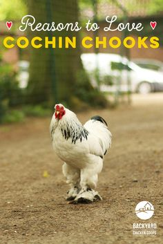 Fluffy, friendly and feathered feet! Thinking of keeping Cochin chickens? Discover 5 reasons to love Cochin chickens here! Backyard Chicken Coops, Chickens Backyard, Cochin Chickens, Chicken Breeds, Animal 2, Gentle Giant, Feathers, Love, Pets