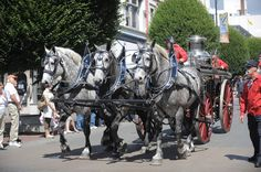 Photo: Robin Duncan  Percherons are still commonly seen at parades and shows. Here, they make a fine display at a parade in the inner harbour of Victoria, BC.
