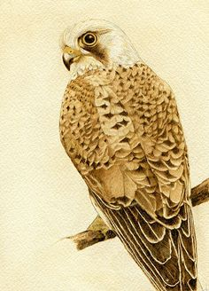 Kestrel Common American Drawing by Cate McCauley