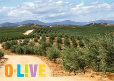 Did you know: Depending on the cultivar, olive trees can take anywhere from years before they start bearing fruit? Olive Tree, Did You Know, Vineyard, Trees, Canning, Fruit, Outdoor, Growing Up, Outdoors